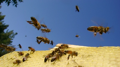 Bees-flying-jpg_20150603185519-159532