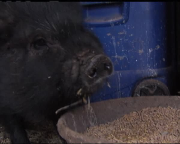 Pot-Bellied Pig Finds New Home_78989114