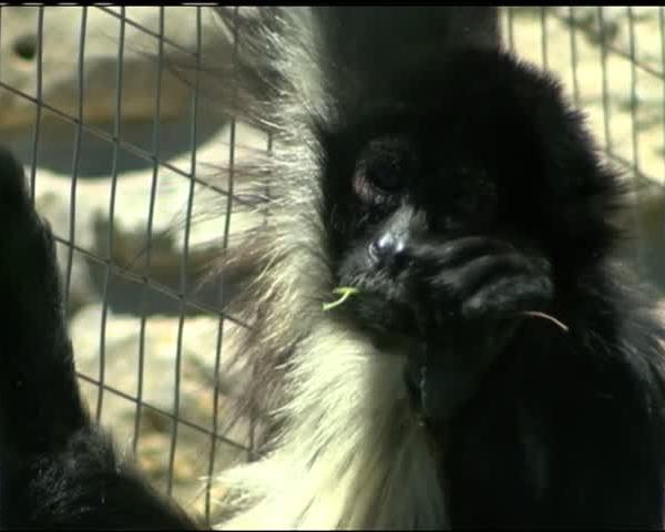 Abilene Zoo Finds Jaguar-s Escape Route_93460833