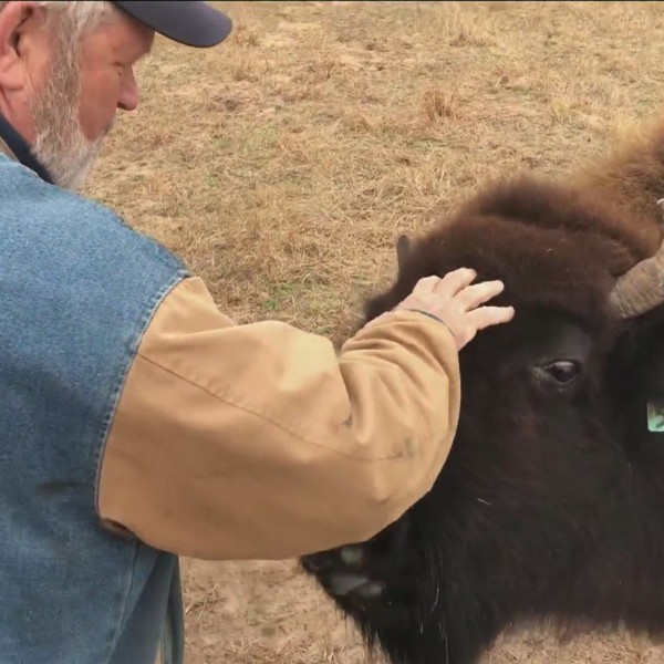 Ranch in Baird striving to bring back buffaloes