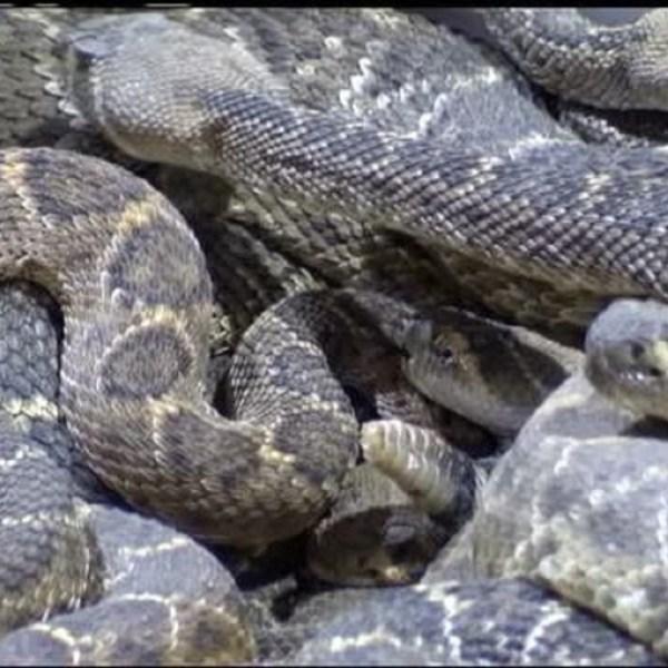 Rattlesnake Roundup_18178936_ver1.0_640_360_1549472045640.jpg.jpg