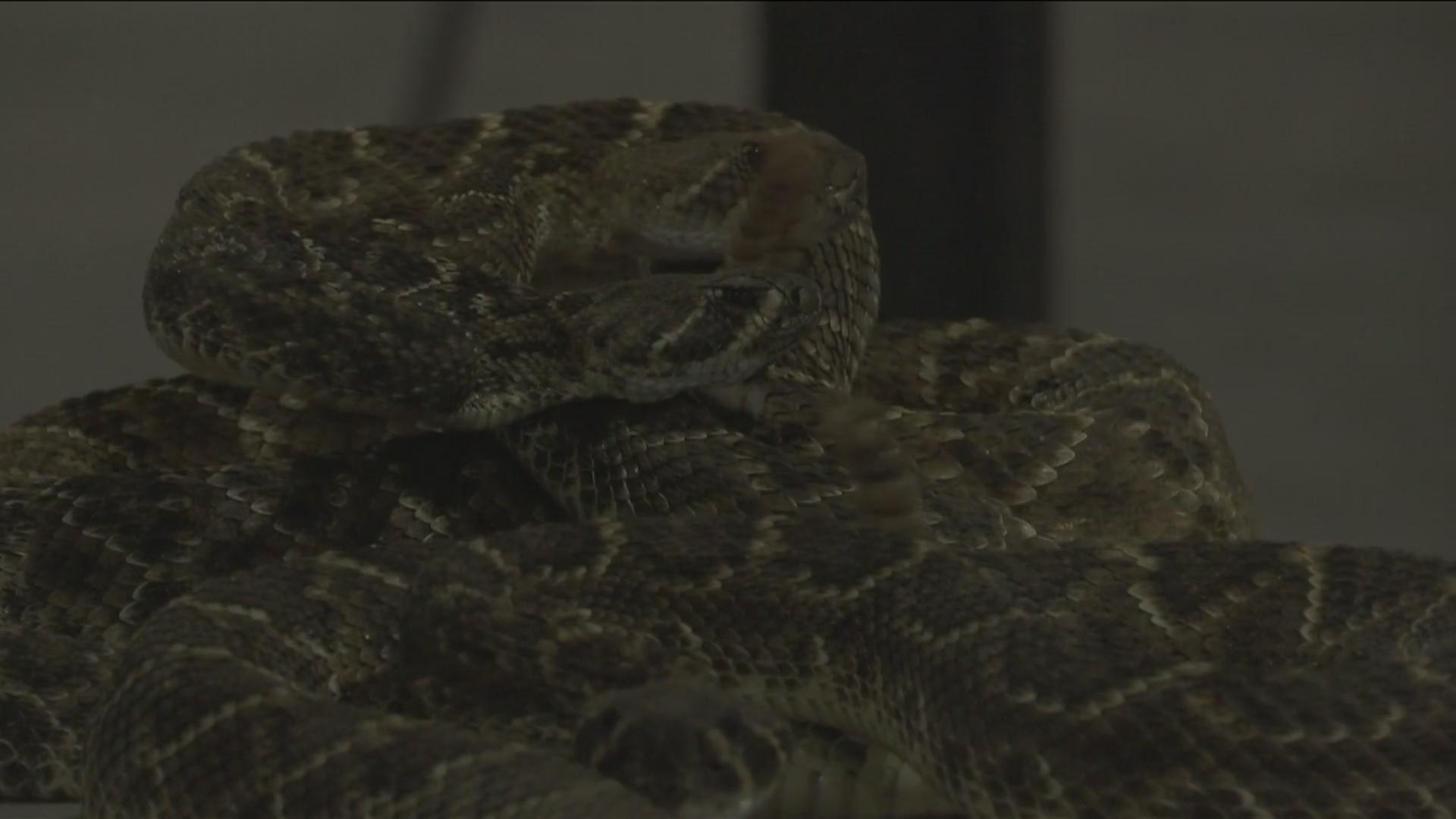 Rattlesnake_Roundup_begins_Friday_in_Swe_0_20190304225400