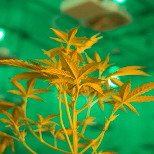 marijuana_1551972471357.JPG